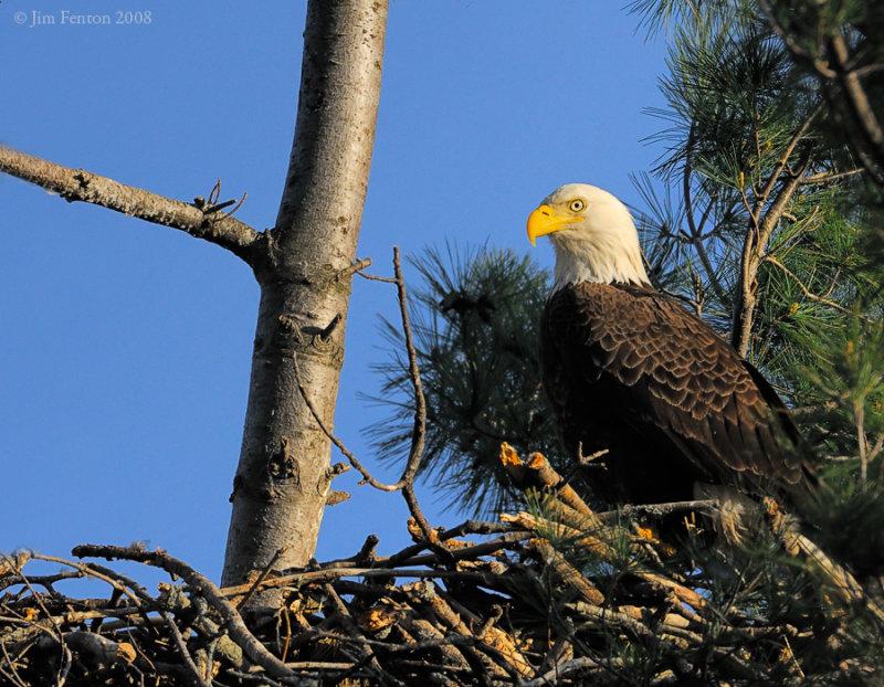 _NW83821 Bald Eagle Female on Nest.