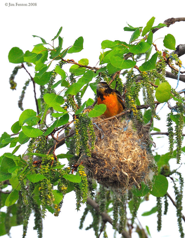 _NW83905 Baltimore Oriole Male at Nest
