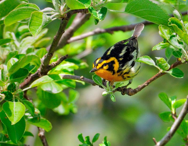 _NW84758 Blackburnian Warbler.jpg