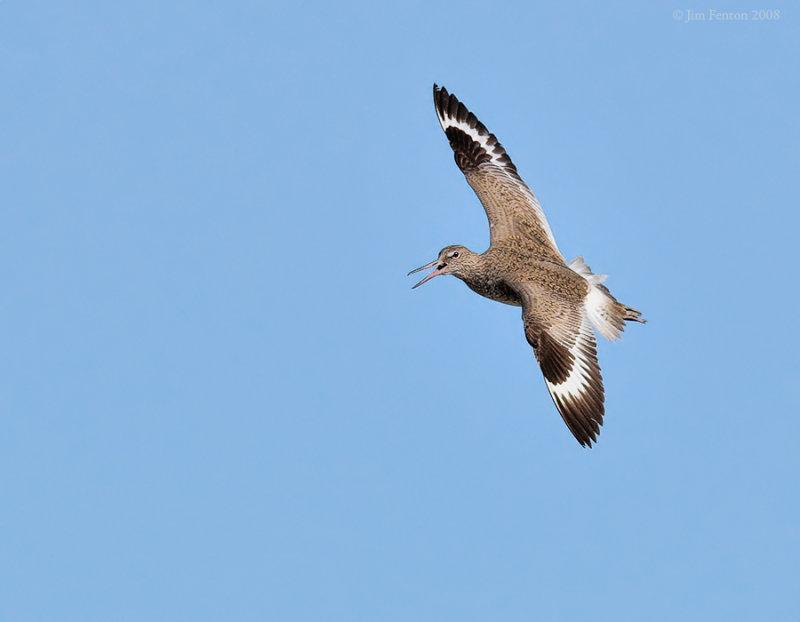 _NW84915 Willet Flight.jpg