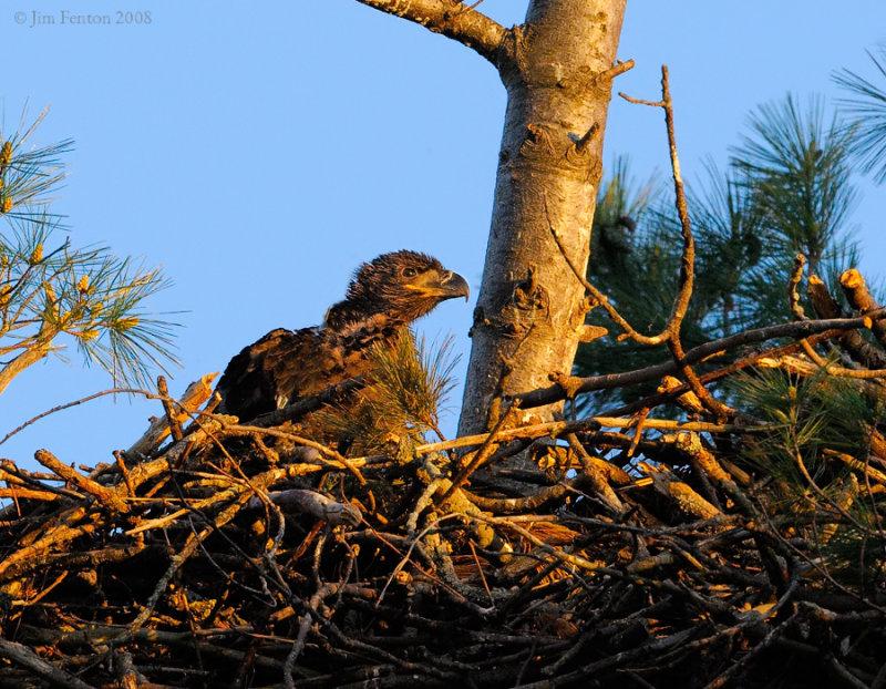 _NW85376 Bald eagle Chick.jpg