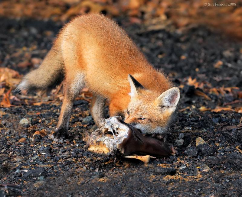 _NW87061 Fox Wiith Food.jpg
