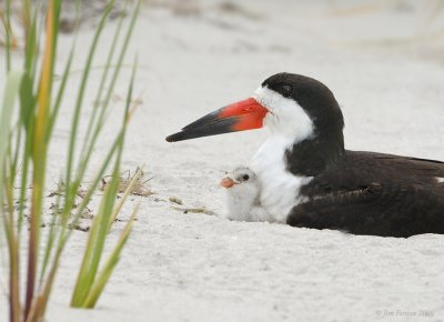 _NW90406 Black Skimmer Female and One Day Old Chick.jpg