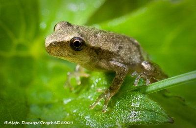 Amphibiens - Amphibians