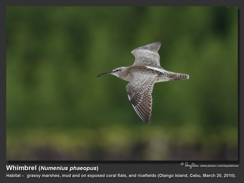 Whimbrel-IMG_5193