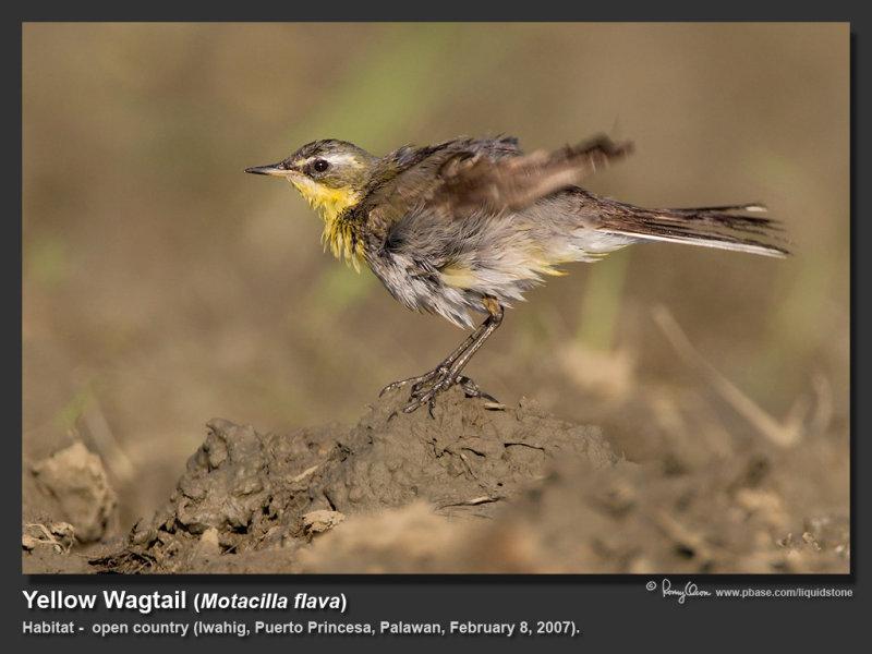Yellow_Wagtail-IMG_6607