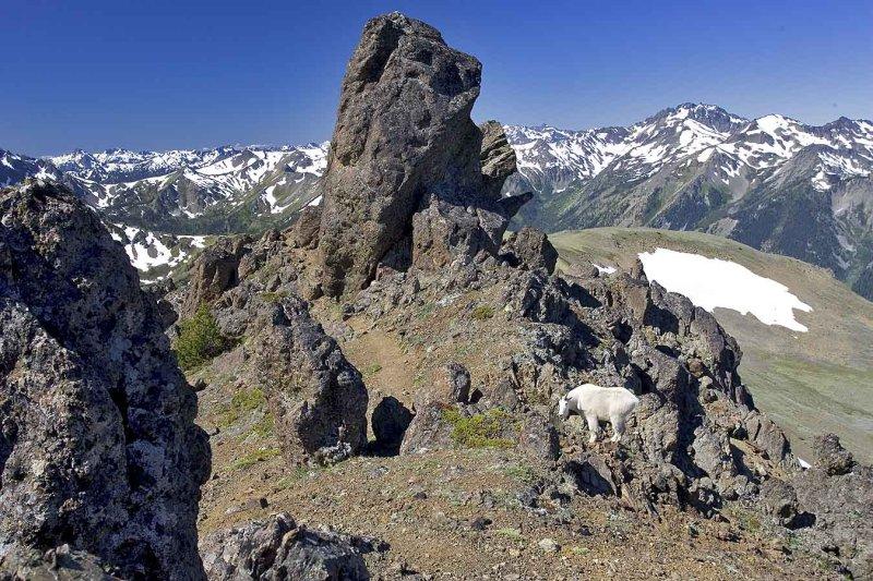 Mountain goat at Mt. Buckhorn
