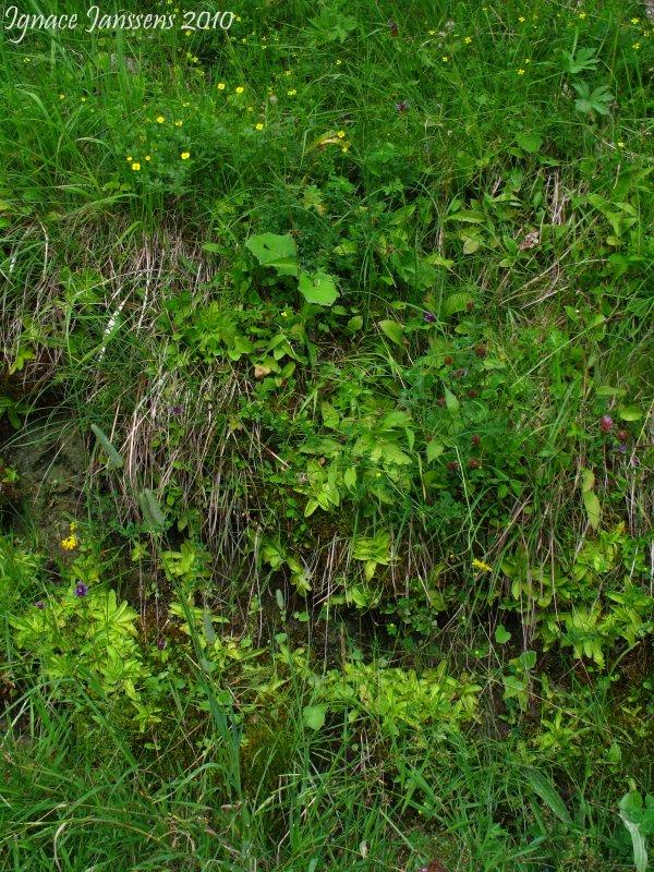 Pinguicula grandiflora Massif du Vercors