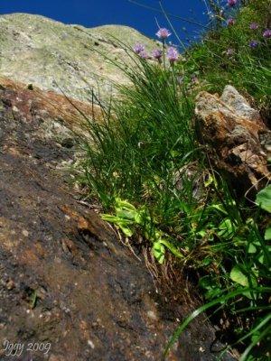 Pinguicula vulgaris , Massif des Grandes Rousses,France 2009