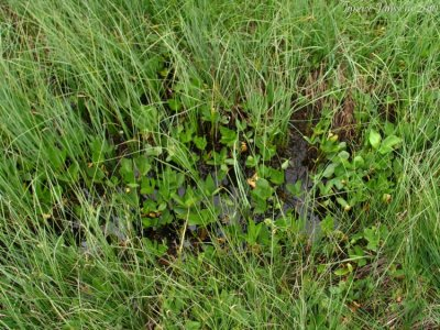 Small pool with Utricularia minor (Massif des Grandes Rousses)