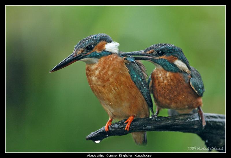 Female and juvenile