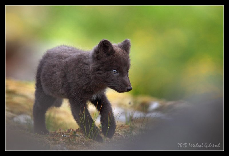Fox pup, North West Iceland