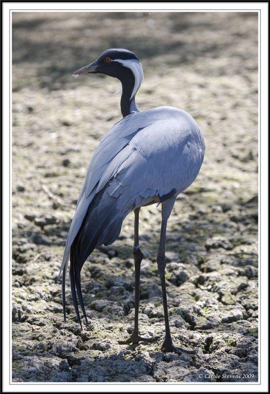 demoiselle crane curves!