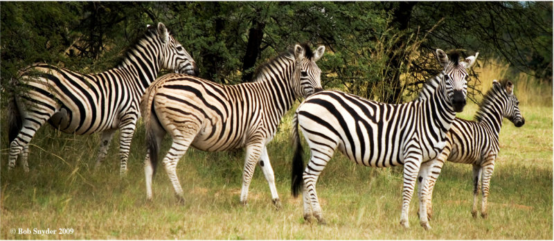 Plains  or Burchells Zebras have stripes extending across the belly.  No two animals have the same pattern of stripes.