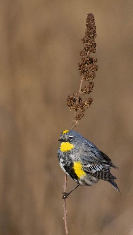 Yellow-rumped (Audubon's) Warbler