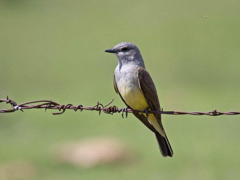 Field-friendly bird sequence Flycatcher-like Birds ...