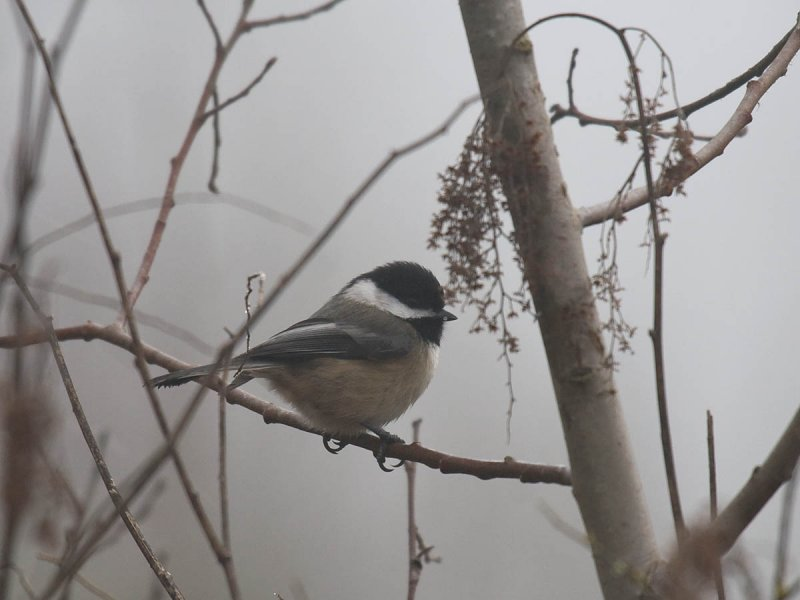 Black-capped Chickadee in the fog