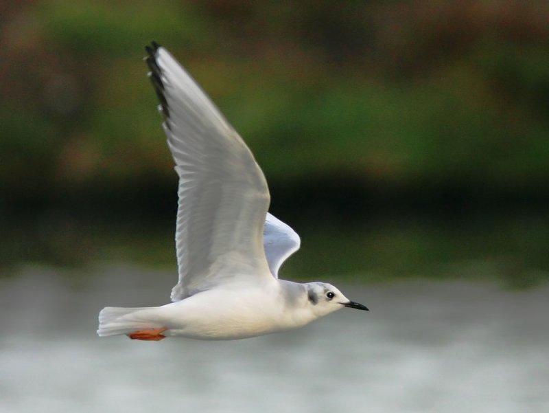 Bonapartes Gull, winter