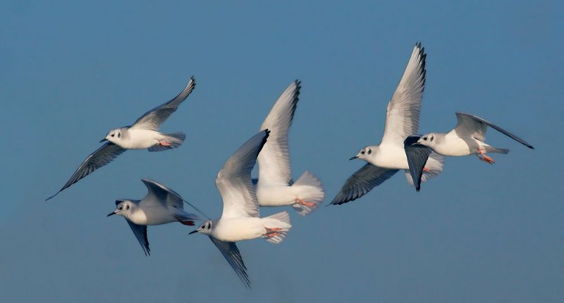 Bonapartes Gulls, winter