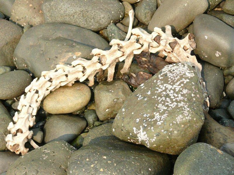 Seal vertebrae.jpg