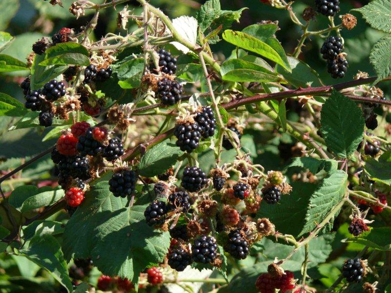 Blackberries2.jpg