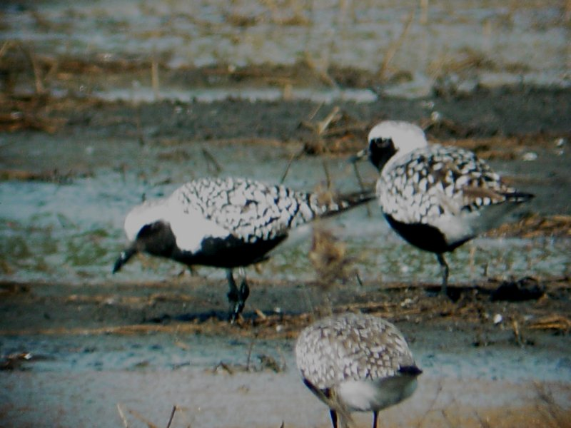 119-02018 Blk-bellied Plover.JPG