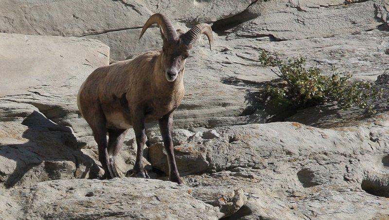 Big Horn Sheep Ram Closeup