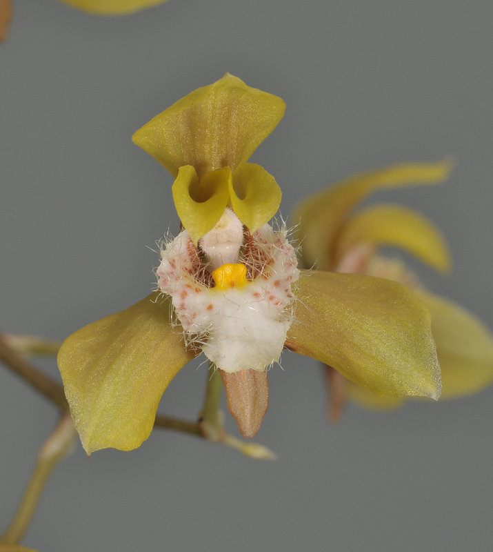 Bifrenaria villosula. Close-up.