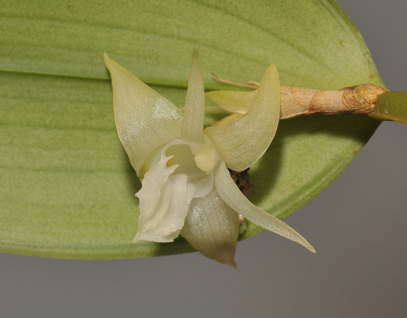 Dendrobium spec. Close-up.