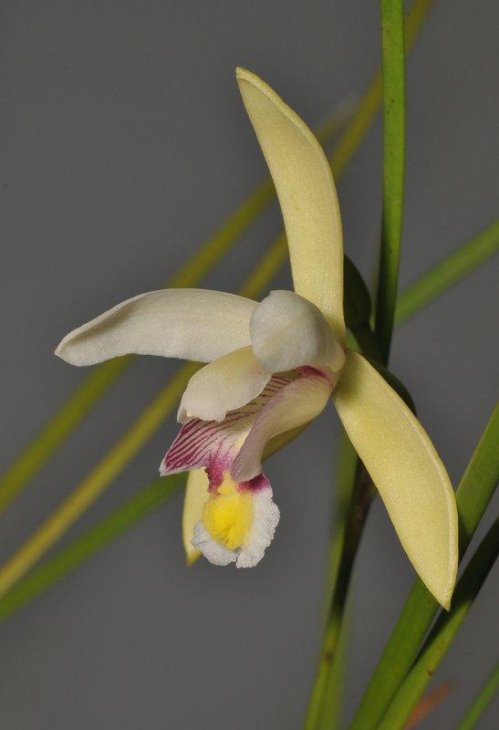 Bromheadia ensifolia. Close-up side.