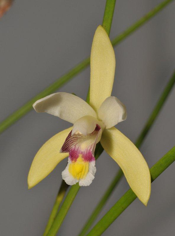 Bromheadia ensifolia. Close-up.