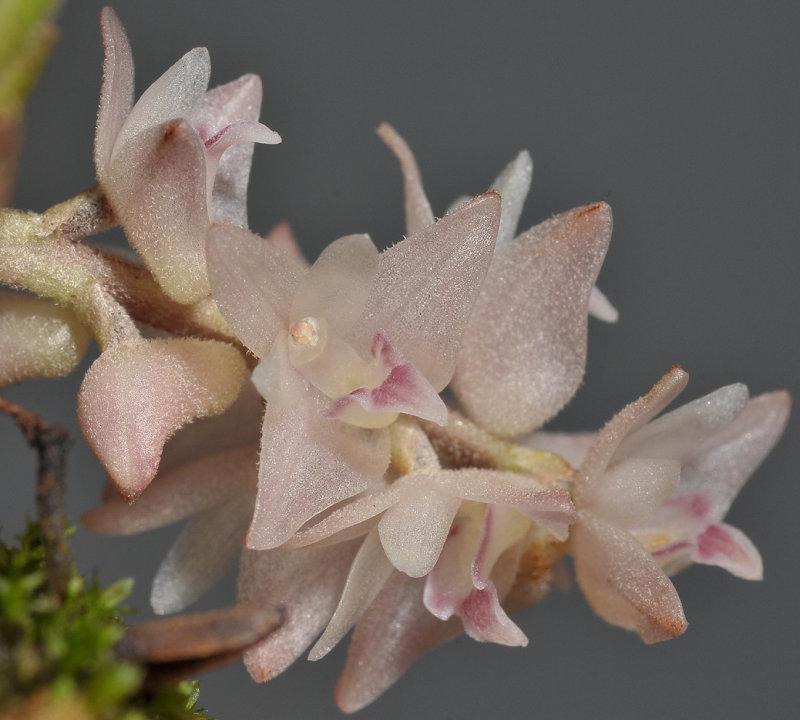 Bryobium pudicum. Close-up.