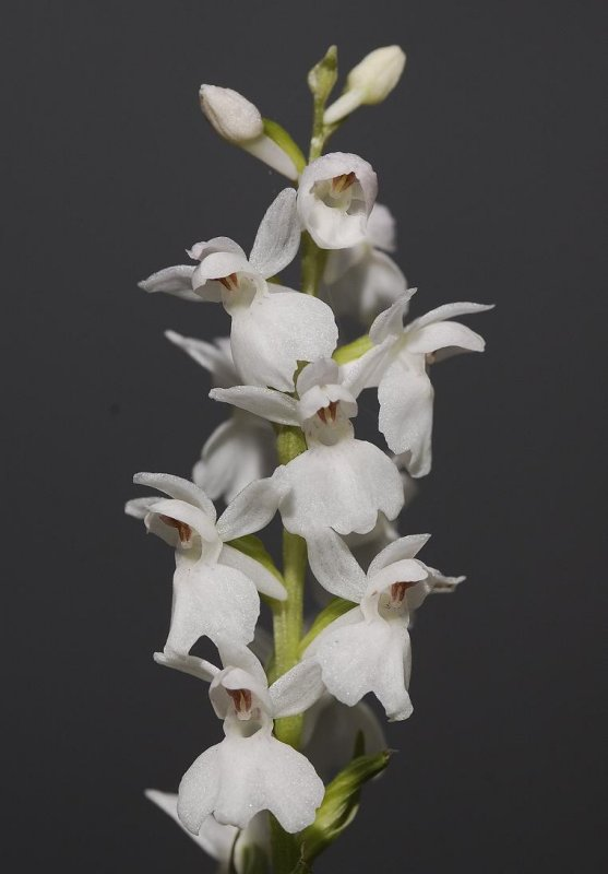 Dactylorhiza maculata var. ericetorum almost white.