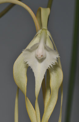 Brassavola cucculata. Close-up.