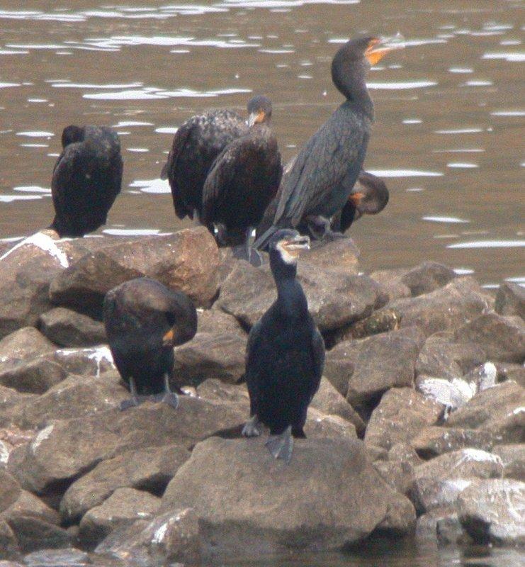 Great Cormorant  (Georgia only)
