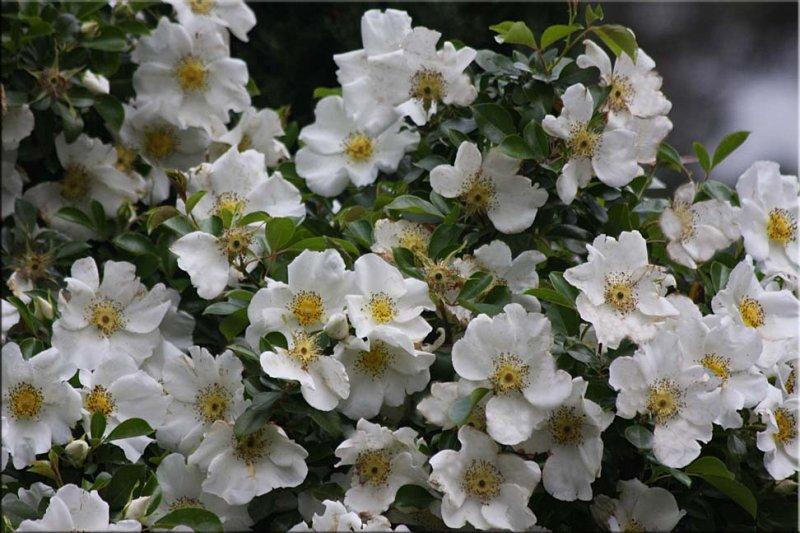 Rosa laevigata - the Cherokee Rose