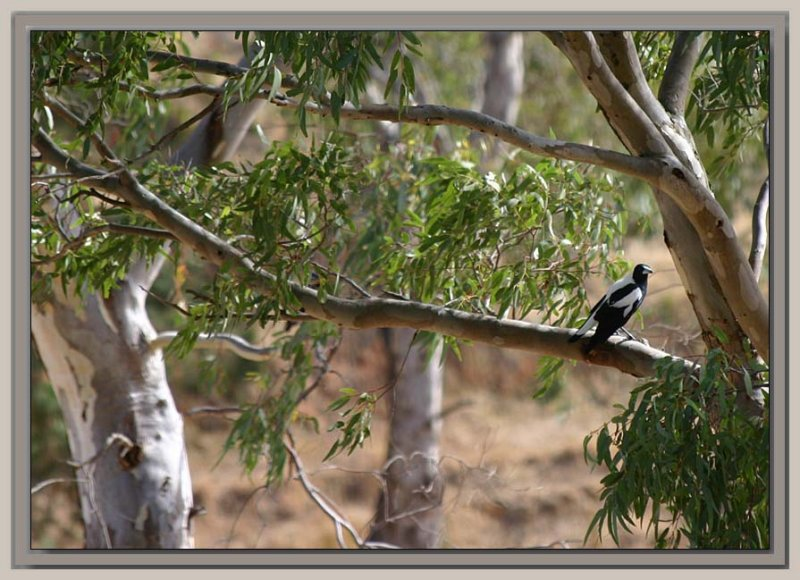 Magpie in a gumtree