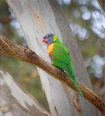 Rainbow lorikeet on a treebranch