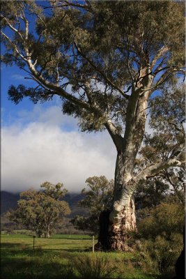Willochra Creek near Melrose - Upper North - South Australia