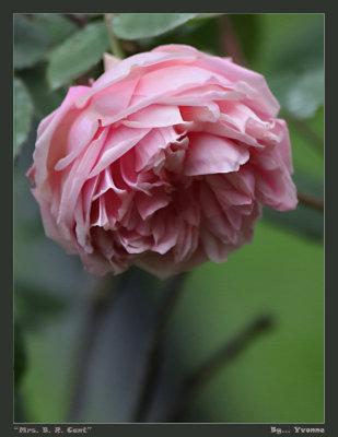 Spring rose - pink