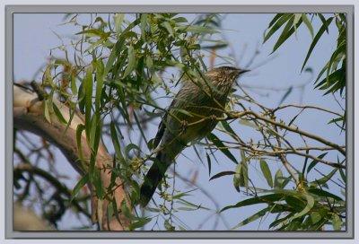 Wattle bird high in the trees