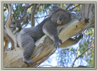Tired little koala
