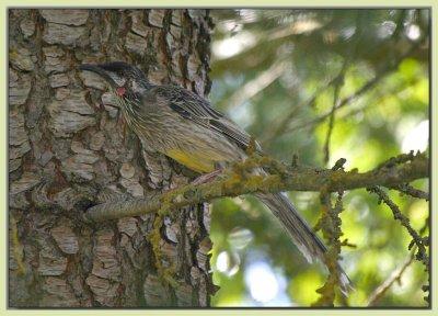 Wattlebird in the cedar
