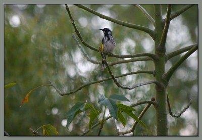 Honeyeater in the Kurrajong tree