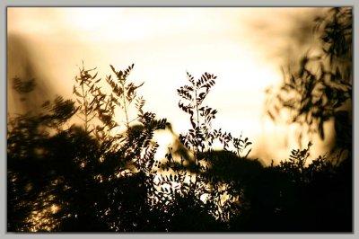 Pepper tree at sun-down