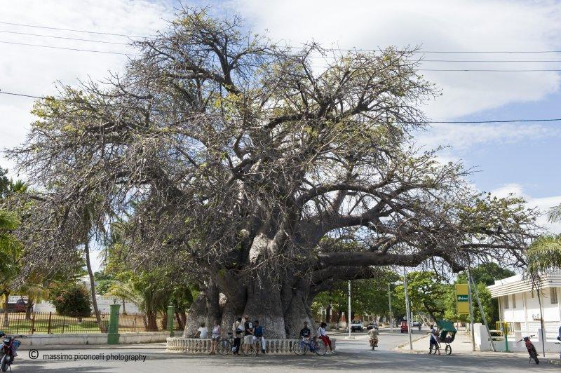 Le Vieux Baobab de Mahajanga