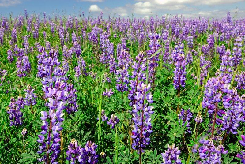 Fields of Lupine