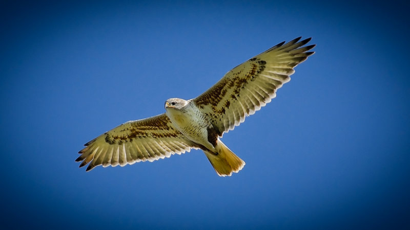Extra Attraction - Locale Ferruginous Hawk Fly-Over