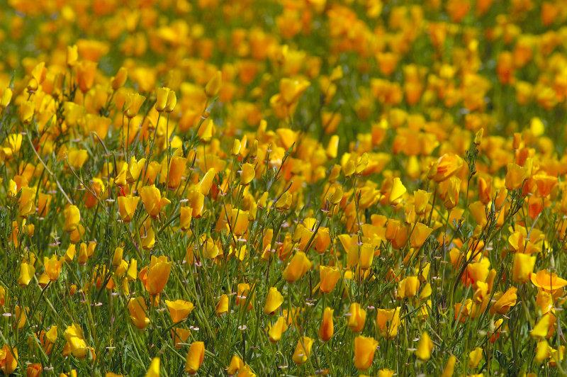 Poppy fields replace scoarched earth