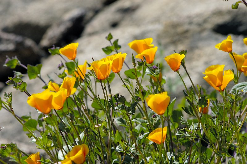 Poppies reach for warmth